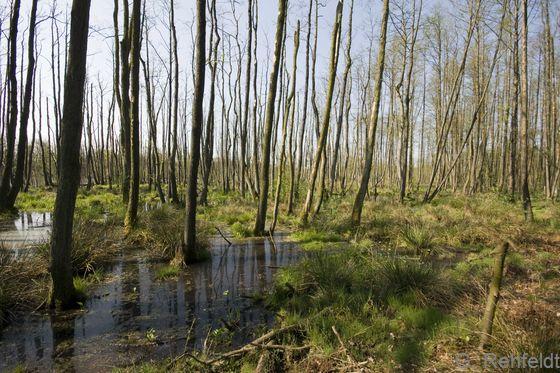 Überstauter Erlen-Bruchwald nährstoffreicher Standorte (WARÜ), Lahre