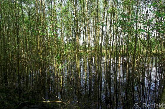 Birken-Bruchwald nährstoffreicher Standorte (WBR), Haren