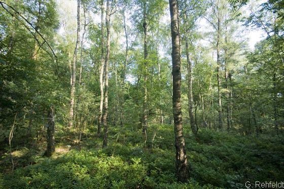 Zwergstrauch-Birken- und Kiefern-Moorwald (WVZ, LRT91D0), Visbek