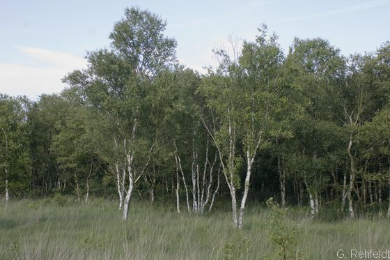 Pfeifengras-Birken- und -Kiefern-Moorwald (WVP, LRT91D0), Flögeln