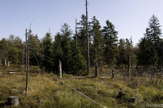 Hochmontaner Fichtenwald nährstoffreicherer Moore (WON, LRT91D0), Torfhaus