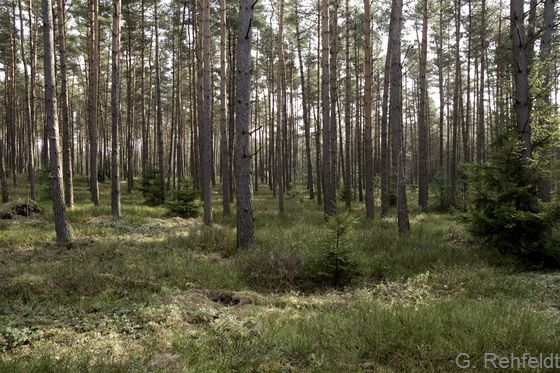Zwergstrauch-Kiefernwald armer, trockener Sandböden (WKZ), Soltau