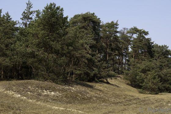 Sonstiger Kiefernwald armer, trockener Sandböden (WKS), Neuhaus