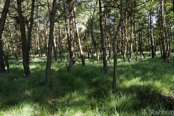 Kiefernwald armer, feuchter Sandböden (WKF), Hülsen