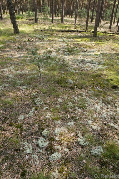 Flechten-Kiefernwald armer, trockener Sandböden (WKC, FFH 91T0), Bad Bodenteich