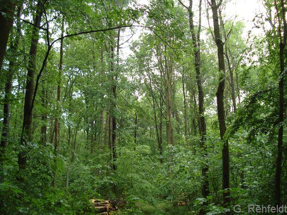 Edellaubmischwald frischer, basenreicher Standorte (WGM), Braunschweig