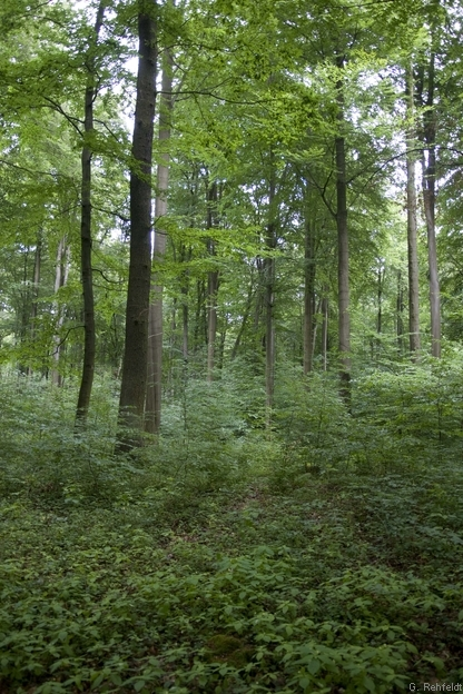 Mesophiler Buchenwald kalkärmerer Standorte des Berg- und Hügellandes (WMB, FFH 9130), Wolfenbüttel
