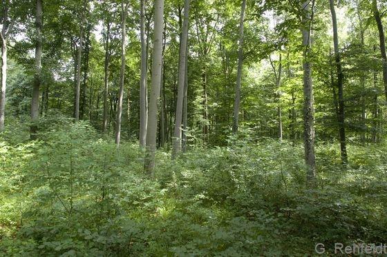 Mesophiler Buchenwald kalkärmerer Standorte des Tieflandes (WMT, FFH 9130), Berel
