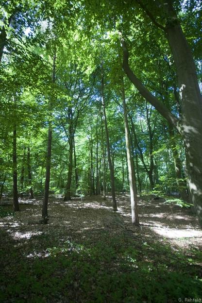 Bodensaurer Buchenwald armer Sandböden (WLA, FFH 9110), Verden