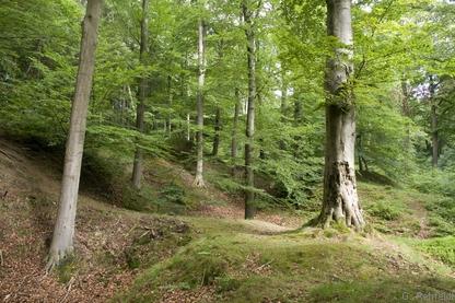 Bodensaurer Buchenwald des Berg- und Hügellandes (WLB, FFH 9110), Salzgitter