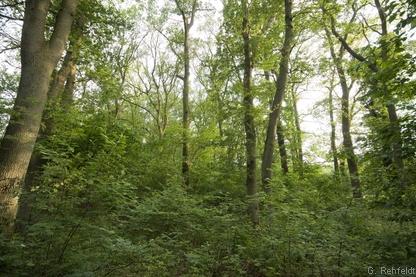 Eichen-Mischwald lehmiger, frischer Sandböden des Tieflandes (WQL, FFH 9120), Versen