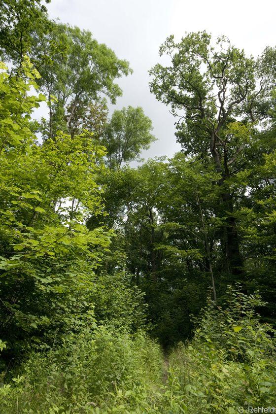 Eichen- und Hainbuchen-Mischwald feuchter, basenreicher Standorte (WCR, FFH 9160), Braunschweig