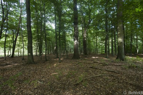 Mesophiler Eichen- und Hainbuchen-Mischwald feuchter, basenärmerer Standorte (WCA)[FFH 9160], Braunschweig