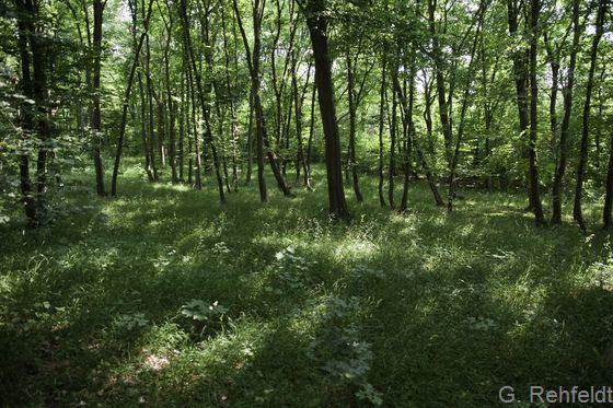 Eichen- und Hainbuchen-Mischwald mittlerer Kalkstandorte (WCK, FFH 9170), Cramme