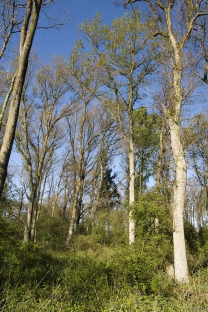 Hartholzauenwald auf sandigen Aueböden (WHA, FFH 91F0), Ems bei Meppen