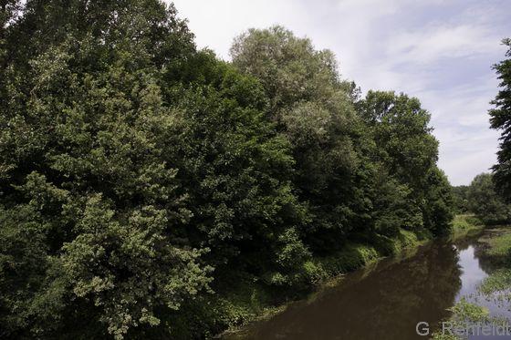 Auwaldartiger Hartholzmischwald in nicht mehr überfluteten Bereichen (WHB), Aller bei Gifhorn