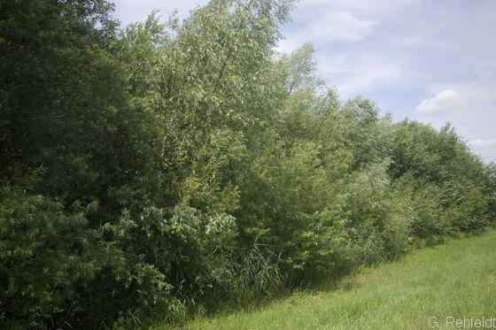 Typischer Weiden-Auwald (WWA, FFH 91E0), Ruhme bei Northeim
