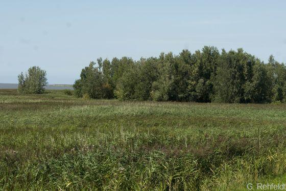 Tide-Weiden-Auwald (WWT, FFH 91E0), Rysum