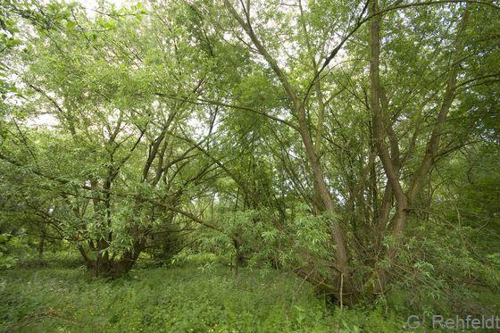 Typischer Weiden-Auwald (WWA, FFH 91E0), Vienenburg