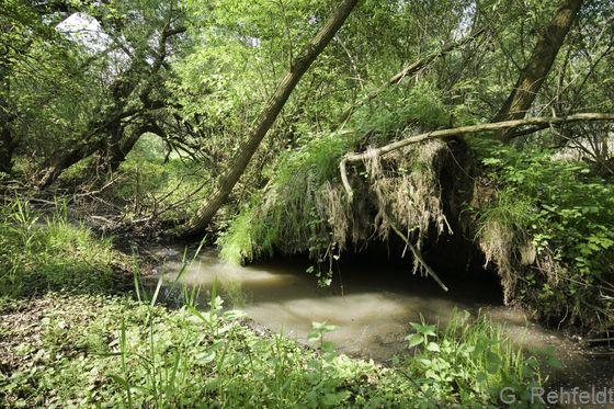 Sumpfiger Weiden-Auwald (WWS, FFH 91E0), Schladen