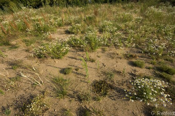 Ruderalflur trockenwarmer Standorte (URT), Sandfläche Braunschweig