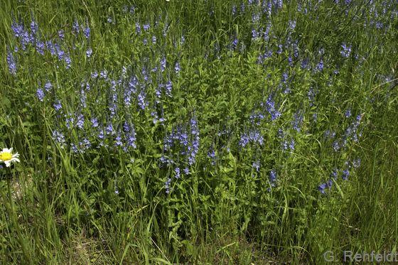 Gras- und Staudenflur trockener, basenreicher Standorte (UTK), Wegrand Berel
