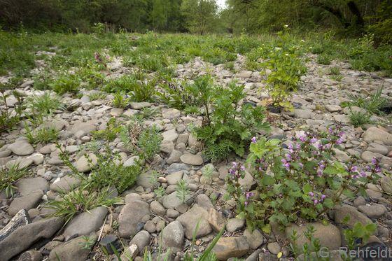 Hochstaudenreiche Flussschotterflur (UFS, LRT 6430), Innerste Kunigunde
