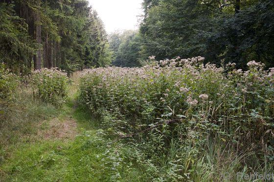 Sonstiger feuchter Hochstauden-Waldsaum (UFW, LRT 6430), Leinde
