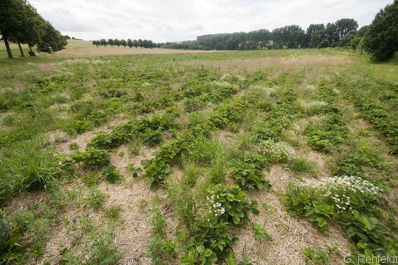 Erdbeerfeld, aufgelassen (ATs), Geismar