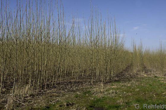Energieholzplantage (EBE), Beuchte