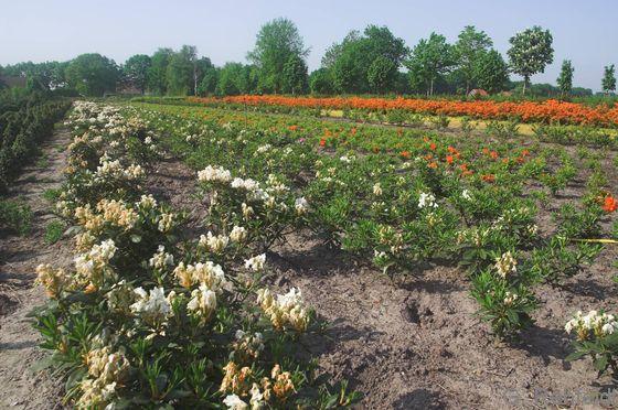 Gehölzkultur mit Rhododendren (EBB), Holtland