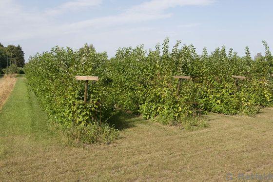 Beerenstrauch-Plantage (EOR), Gockenholz
