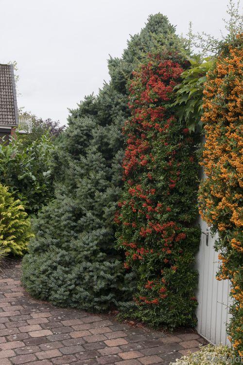 Ziergebüsch aus überwiegend nicht heimischen Gehölzarten (BZN), Wolfenbüttel