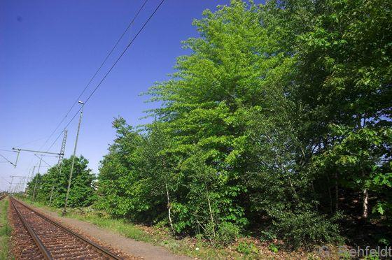 Siedlungsgehölze aus überwiegend nicht heimischen Baumarten (HSN), Braunschweig