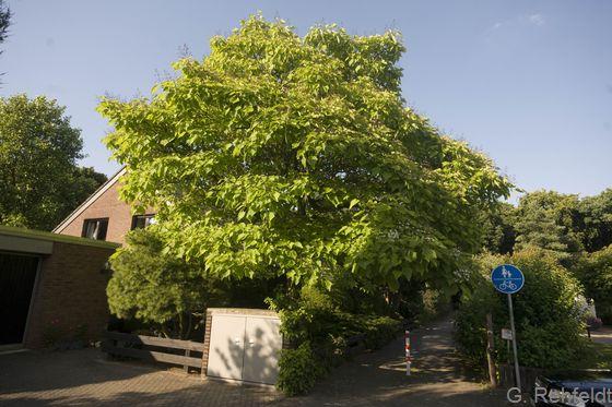 Einzelbaum des Siedlungsbereichs (HEB), Braunschweig