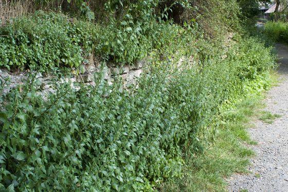 Natursteinmauer (OMN+), Braunschweig
