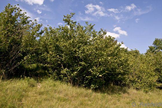 Mesophiles Haselgebüsch (BMH), Schlewecke