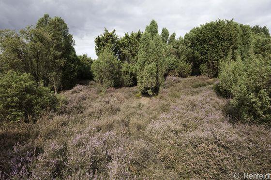 Wacholdergebüsch nährstoffarmer Sandböden (BWA), Nordlohne