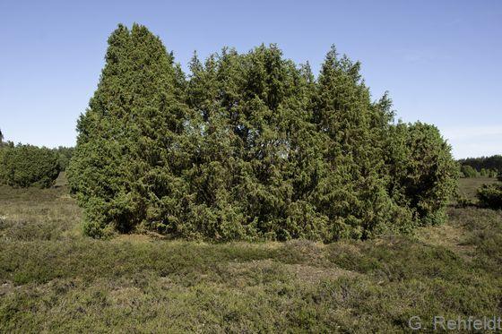 Wacholdergebüsch nährstoffarmer Sandböden (BWA), Krelingen