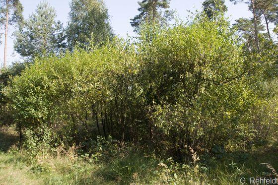 Bodensaures Weiden-/Faulbaumgebüsch (BSF), Volkse