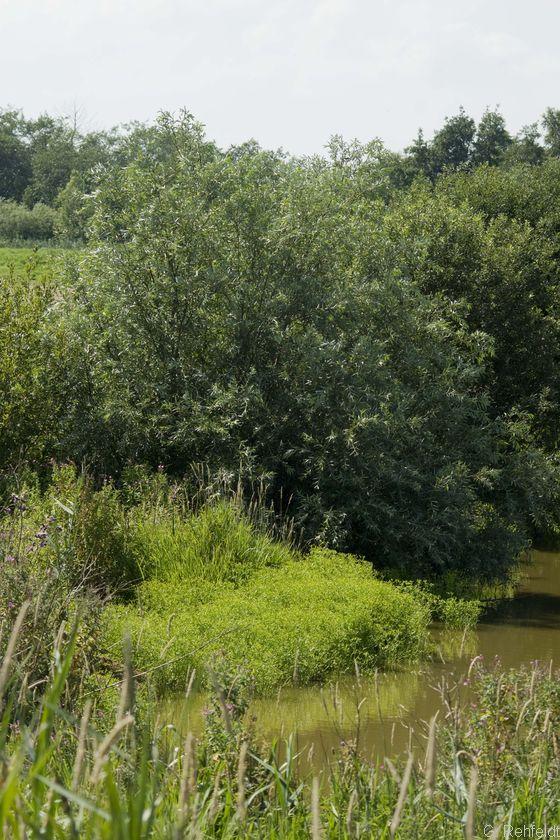 Sonstiges Weiden-Ufergebüsch (BAZ), Emden
