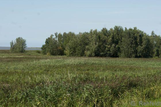 Tide-Weiden-Auengebüsch (BAT), Rysum