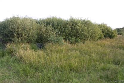 Weiden-Sumpfgebüsch nährstoffärmerer Standorte (BNA), Wiesmoor
