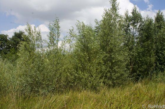 Weiden-Sumpfgebüsch nährstoffreicher Standorte (BNR), Braunschweig