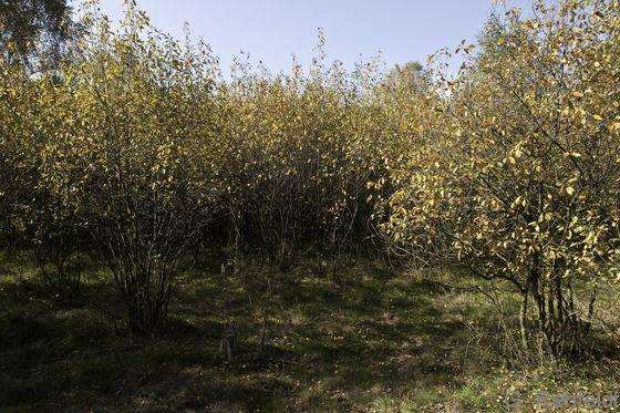 Feuchtgebüsch nährstoffarmer Standorte (BFA), Lessien