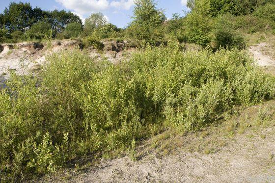 Sonstiges naturnahes Sukzessionsgebüsch (BRS), Klein Dörgen
