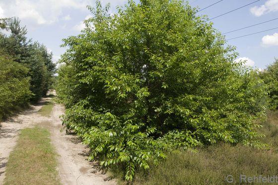 Gebüsch aus Später Traubenkirsche (BRK)