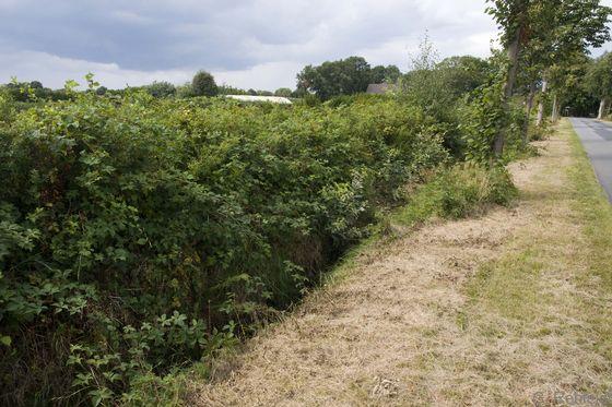 Strauch-Wallhecke (HWS) als Niederhecke mit Rubus, Brinkum
