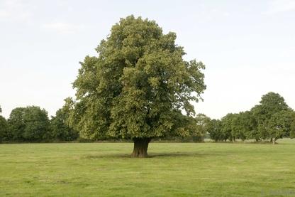 Einzelbaum (HBE), Strackholt