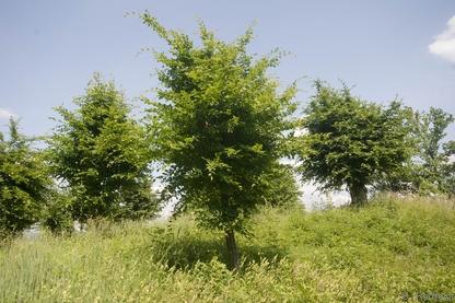 Kopfbaum-Bestand (HBK), Schneitelhainbuchen Düna